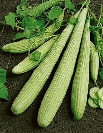 Cucumis Utilissimus - long cucumber