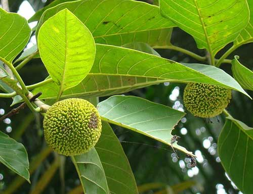 Kadamba Fruit